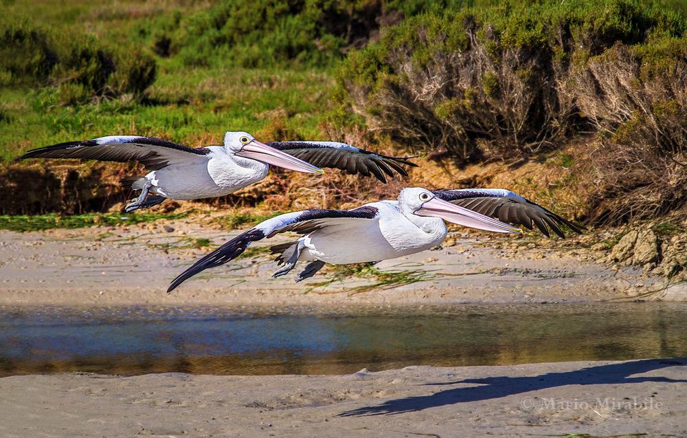 Pelicans copy.jpg