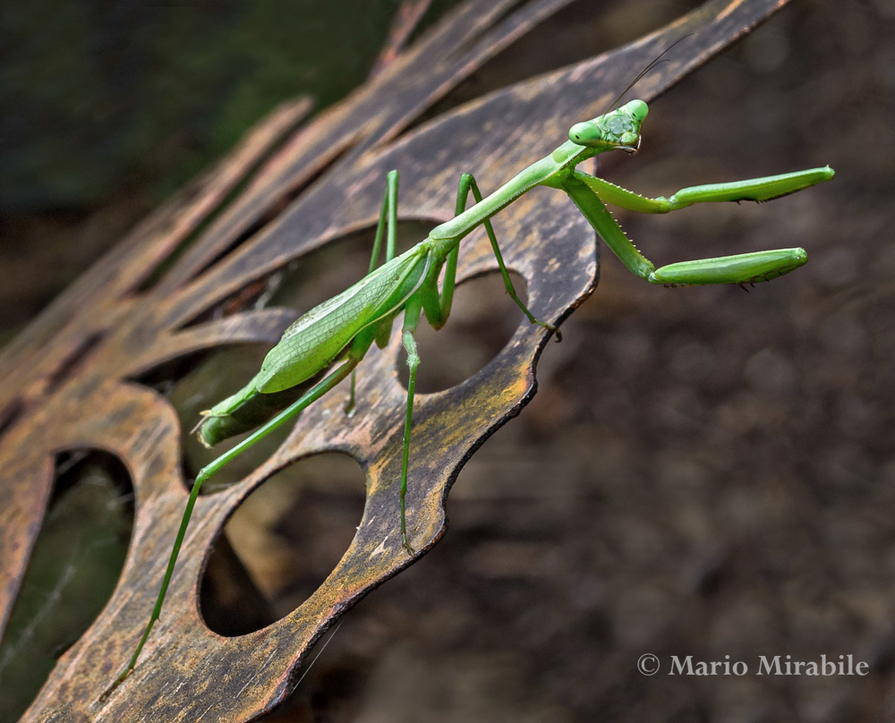 2015-328 Mantis (15) copy.jpg