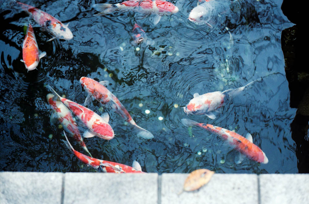 Senso-ji (Asakusa), Tokyo - off to the side of the main temple was a beautiful koi pond.