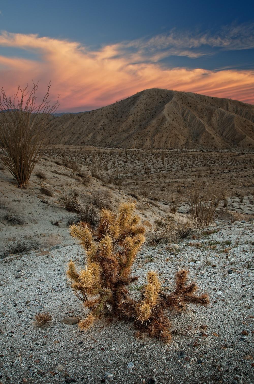 Carizzo Cactus