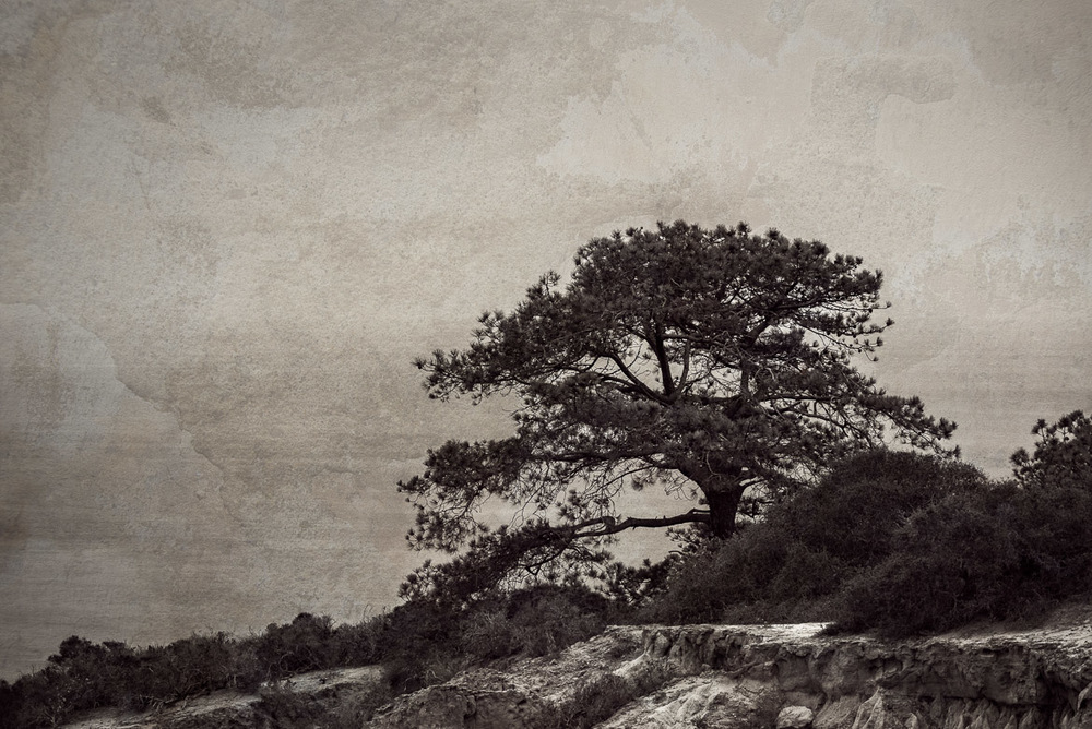 A Lone Torrey Pine