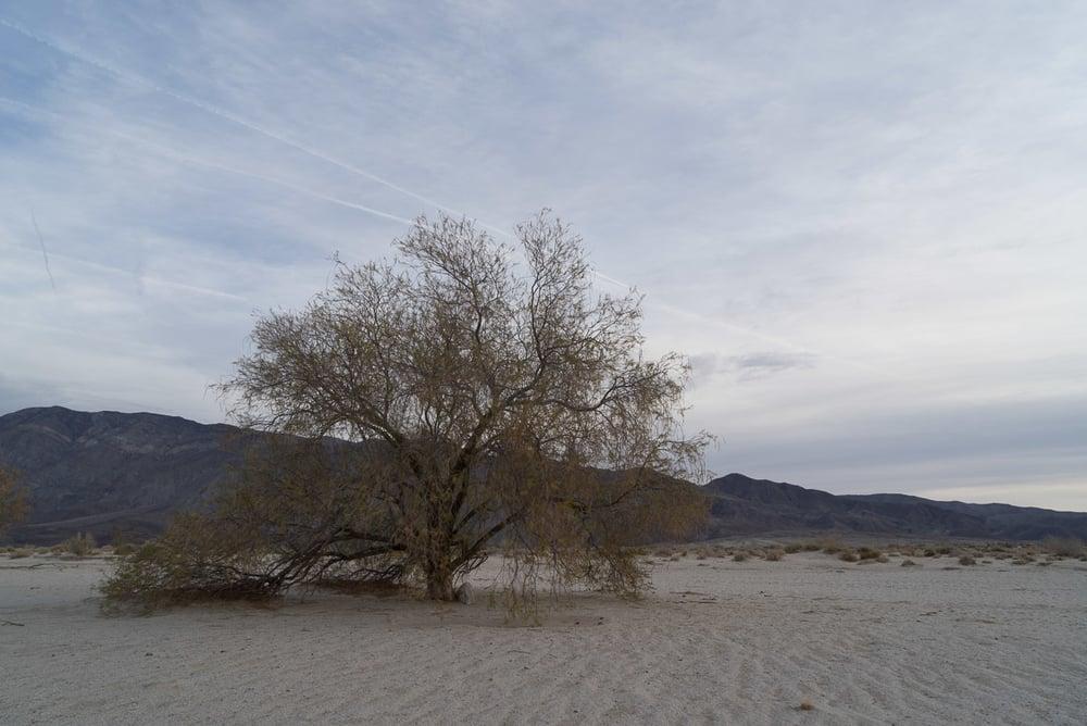 Tree, Anza Borrego