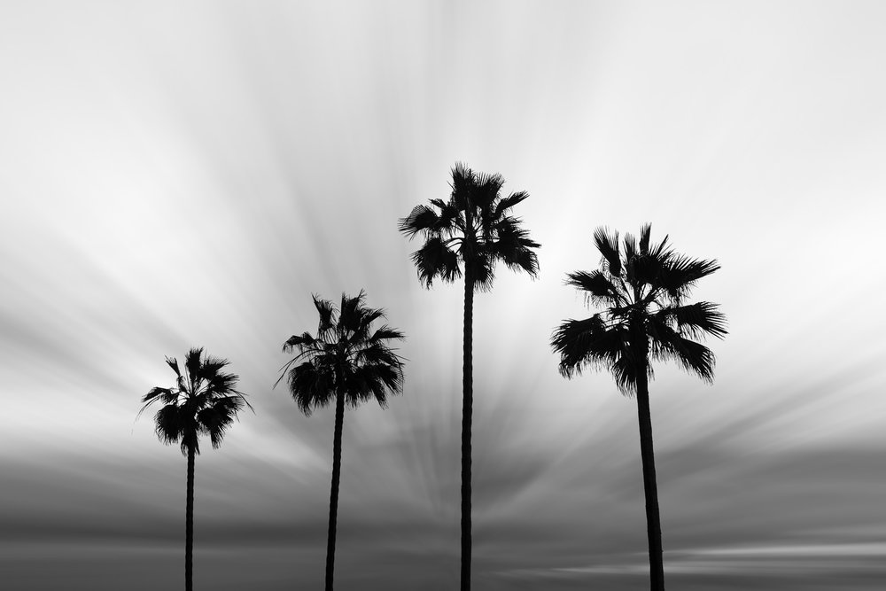 Four Palms, Silhouetted