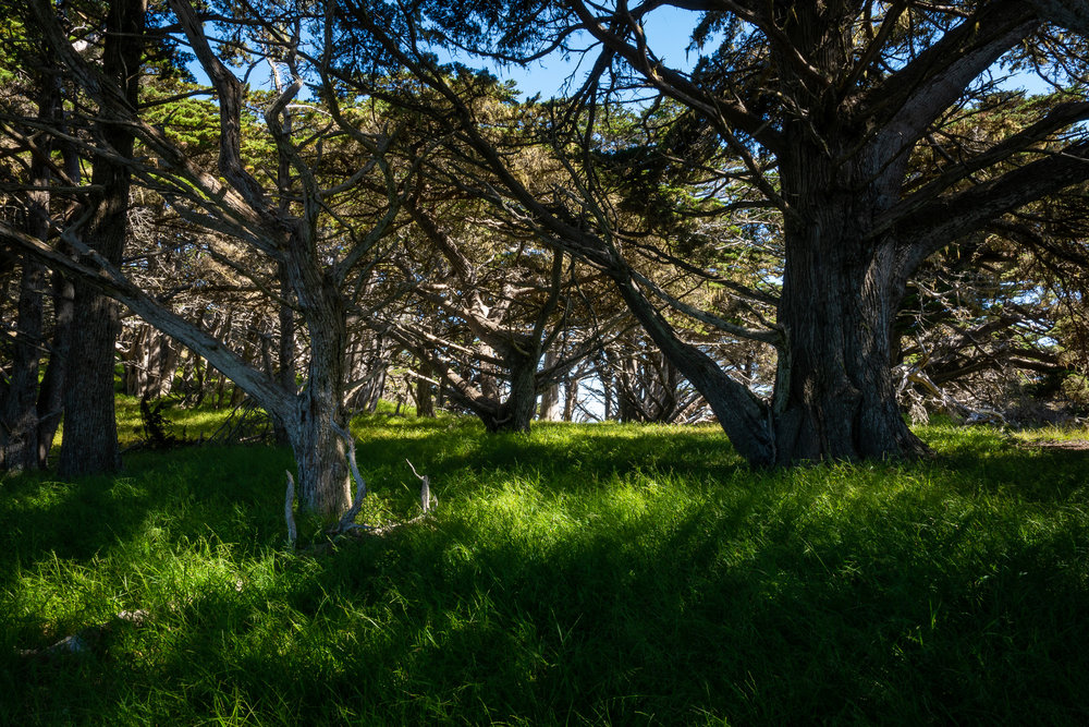 Cypress Grove, Point Lobos Reserve