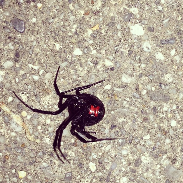 Arkansan black widow (Taken with instagram)