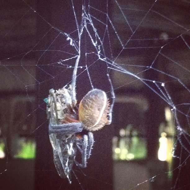 Spider vs cicada… See ya later cicada (Taken with Instagram at Centroamerica)