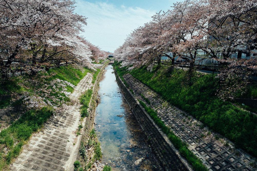 Il fiume di Nara coronato di ciliegi in fiore.