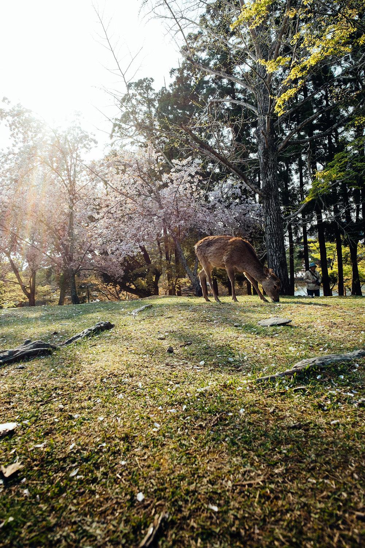 Nara's Park deers!