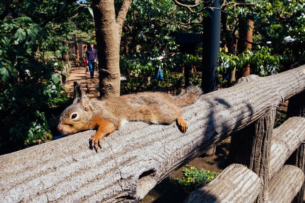 Lo scoiattolo più rilassato di tutto il Giappone.