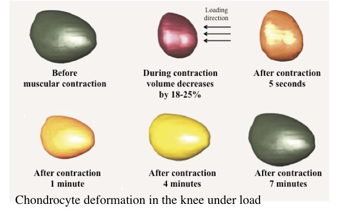 Cartilage Cells