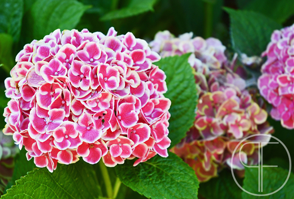 hydrangeas_edited-1_watermarked.jpg