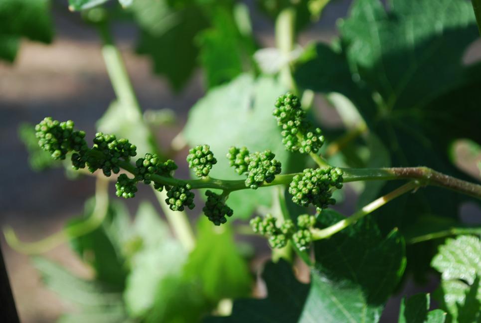 grape-buds.jpg