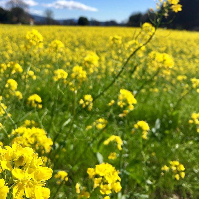 Mustards soaking up the sun. 🌞