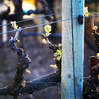 The 2017 growing season begins! #budbreak #spring #napavalley #wine #grow #newcycle
