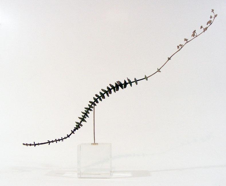 Nic Bladen-Crassula rupestris (sosatiebos).jpg