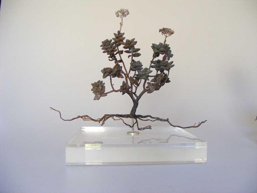 Nic Bladen-Crassula rupestris (sosatiebos)3.jpg