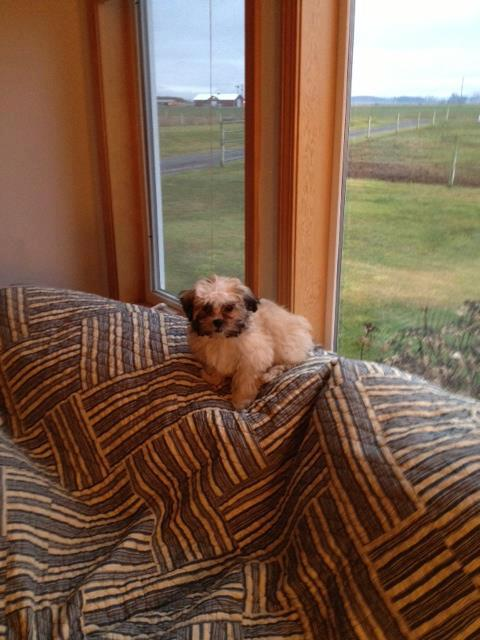 ELIZA This is Eliza. We love her to pieces. She is the best little dog. Thank you so much Star View Kennels. I would highly recommend you to anyone. — with Pat Kohl Fleming.