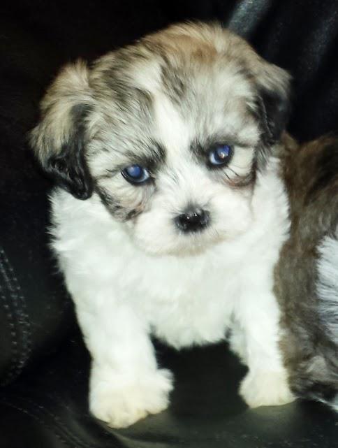 shi pup female.jpg