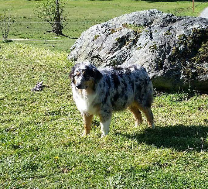 (Mom) 52 Pound Australian Shepherd