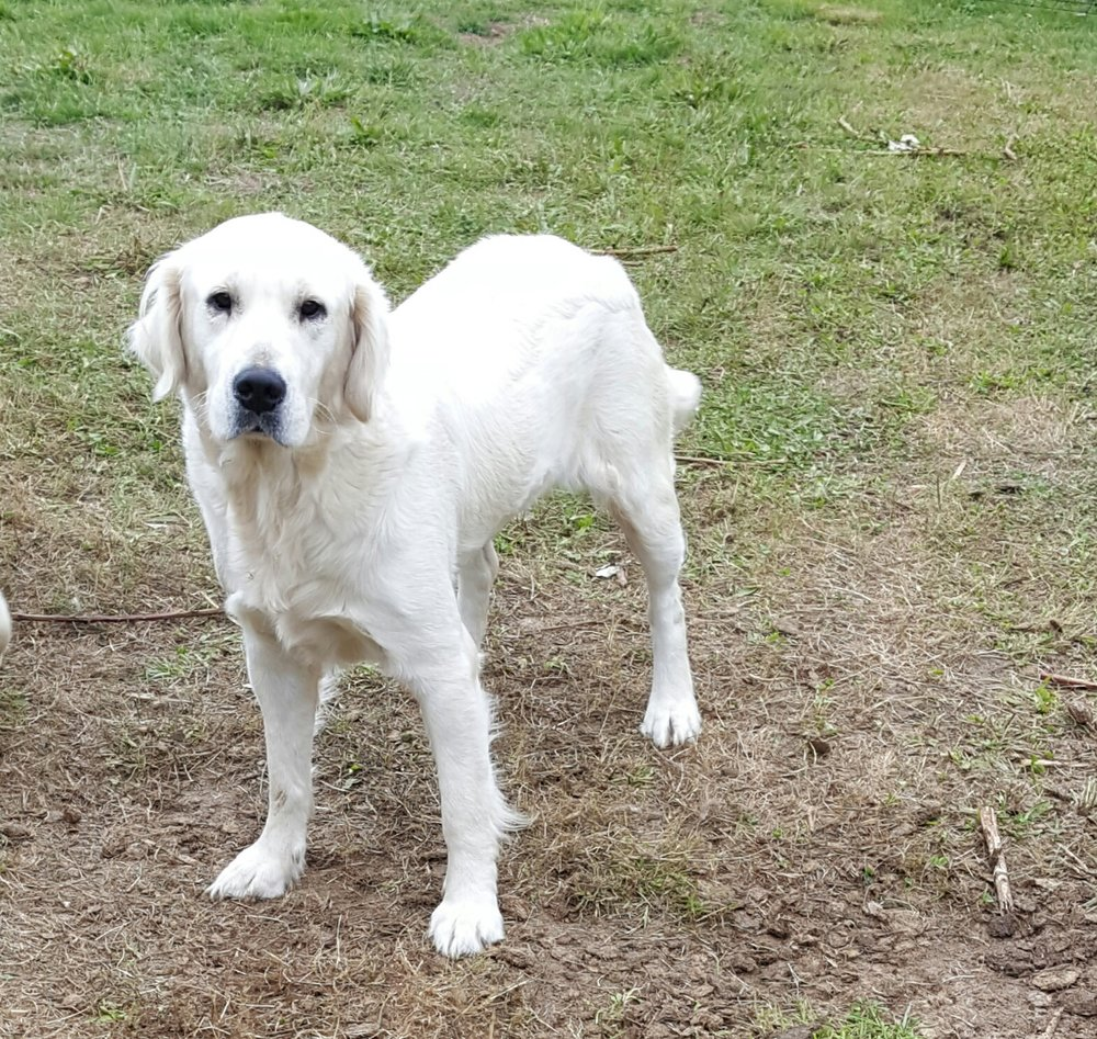 (Mom) 60 Pound English Creme Golden Retriever