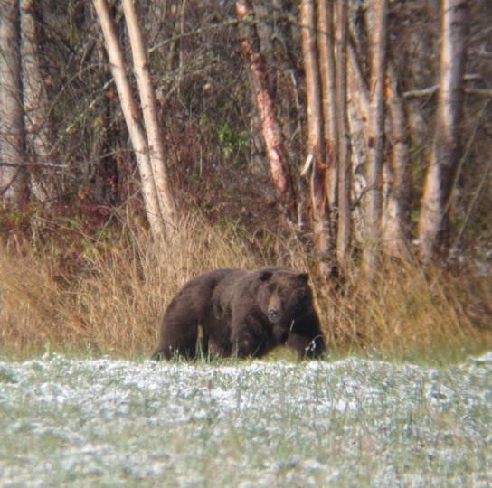 This big, placid male was shot illegally near the Lillooet River north of Pemberton (by a hunter who claims he mistook it for a black bear).