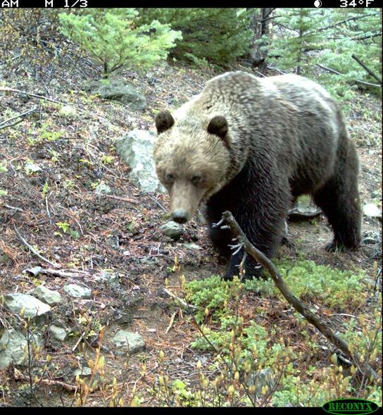 Yalakom bear.