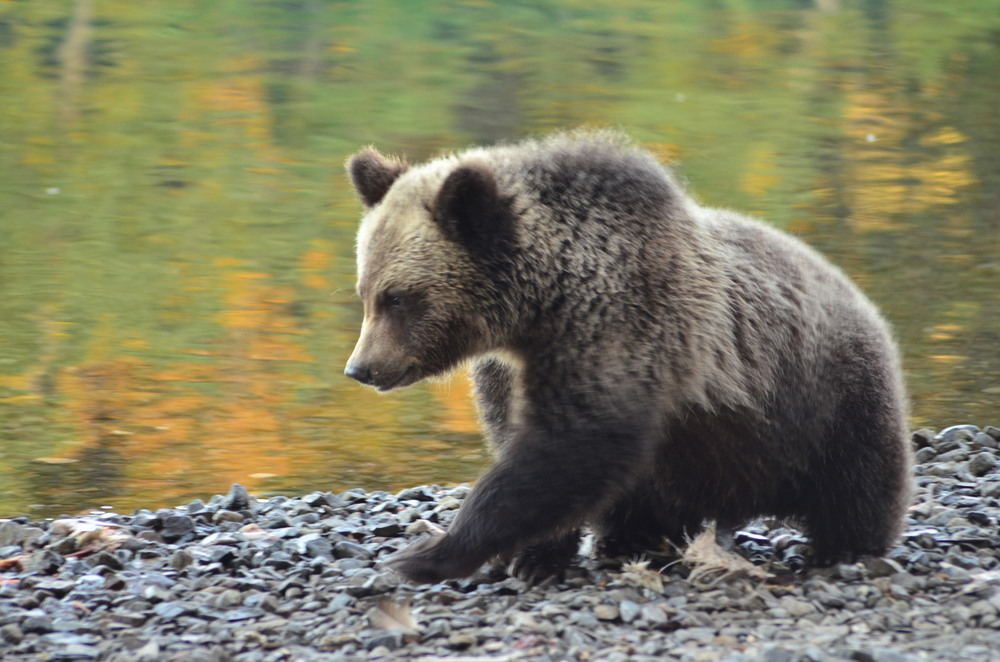 grizzly bear reintroduction to the cascades Presentation begins at 6:30 pm - join us anytime after 5:00 pm for food and drink $5 suggested donation please join us as western wildlife outreach discusses the grizzly bear reintroduction effort in the north cascades of washington state.