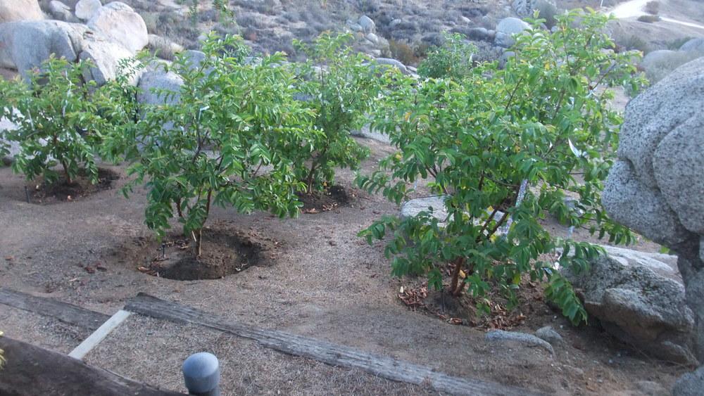 guava1.JPG