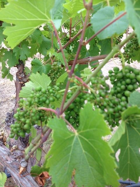 Wine grape May 2016.jpeg