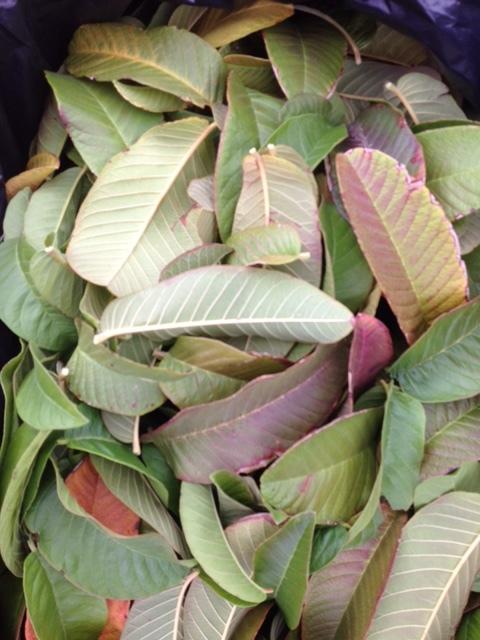 fresh guava leaves.jpeg