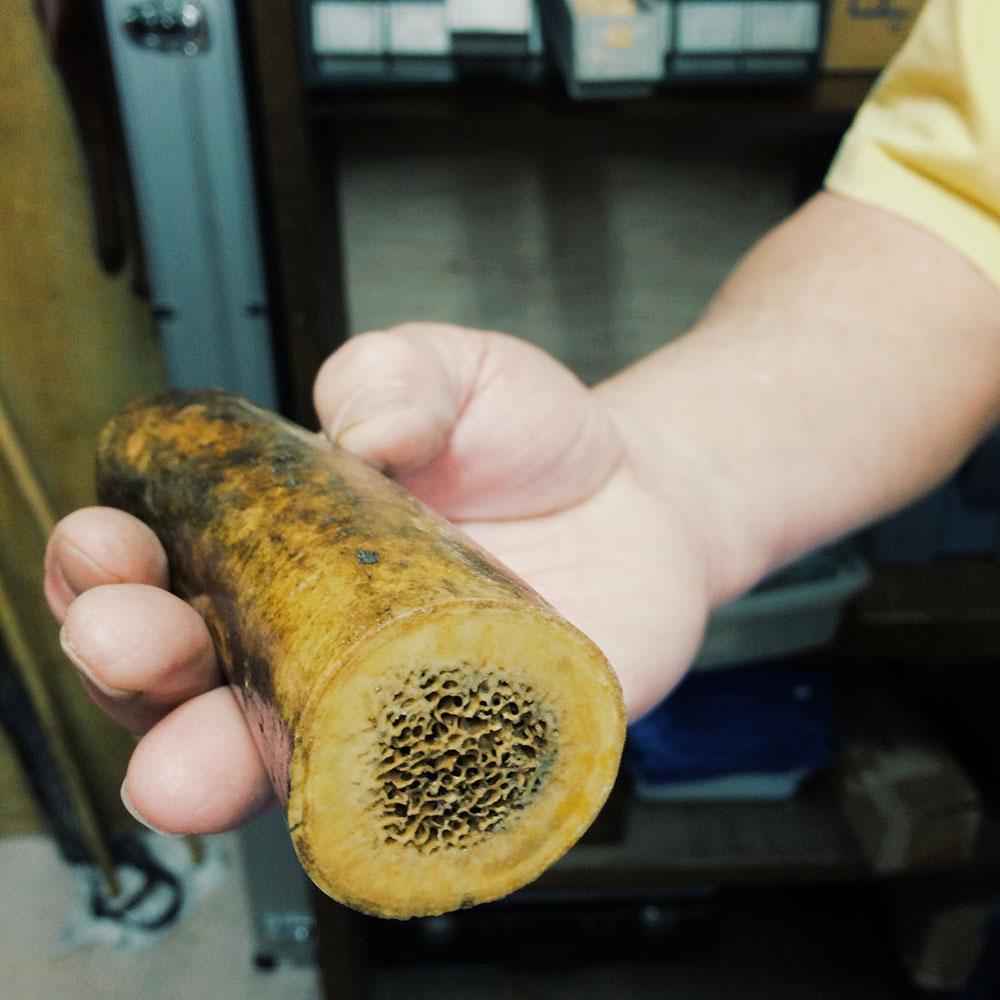 Fossilized walrus tusk