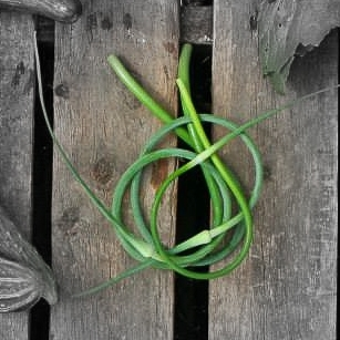 Garlic Scapes Highlighted 2.jpg