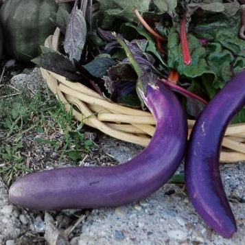 Pingtung long eggplant highlighted.jpg
