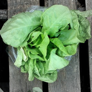 Bibb lettuce highlighted.jpg