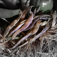 Dragon's tongue beans highlighted.jpg