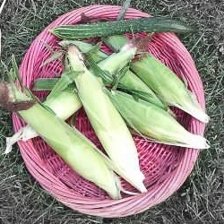 Sweet corn highlighted.jpg