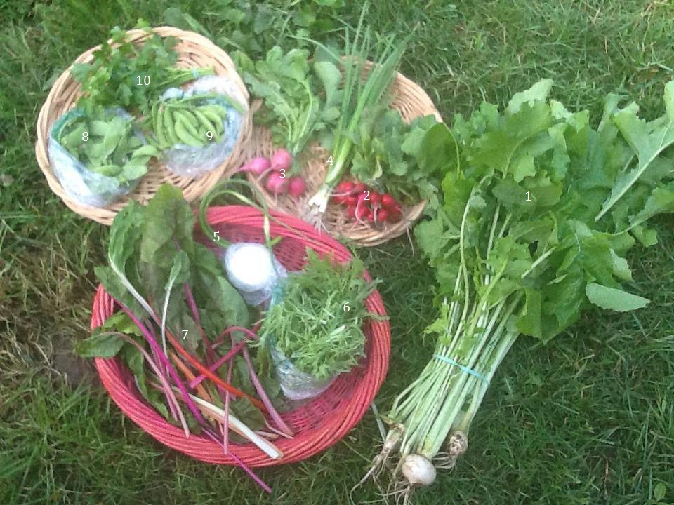 1. Turnip greens, 2. Cherry Belle Radishes, 3. Pink Beauty Radishes, 4. Spring Onions, 5. Garlic Scapes, 6. Curly Endive, 7. Bright Lights Chard, 8. Oregon Giant Snow Peas, 9. Sugar Snap Peas, 10. Parsley [Not Pictured: White Icicle Radishes, Leeks, Curly Cress