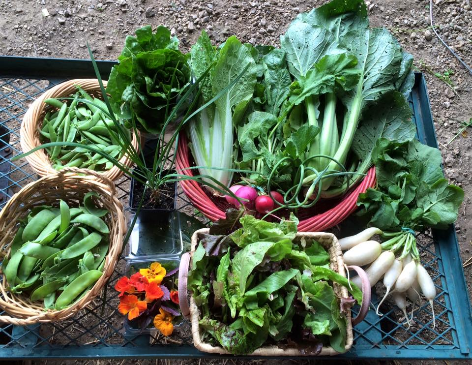 snow peas, sugar snap peas, romaine head, Bok Choi, Chinese cabbage, garlic chive plant, Easter egg radishes, white icicle radishes, lettuce mix, garlic scapes and a garnish box of arugula sprigs, basil and nasturtiums.