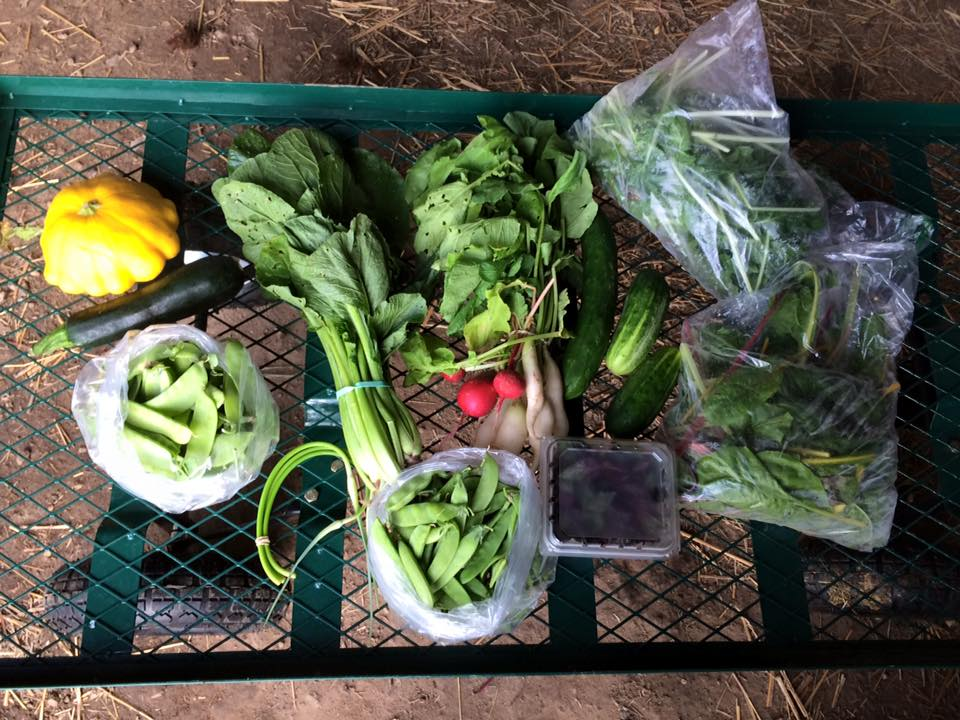 Summer squash, peas, cucumbers, scapes, chard, greens, basil, Bok Choi or broccoli, radishes