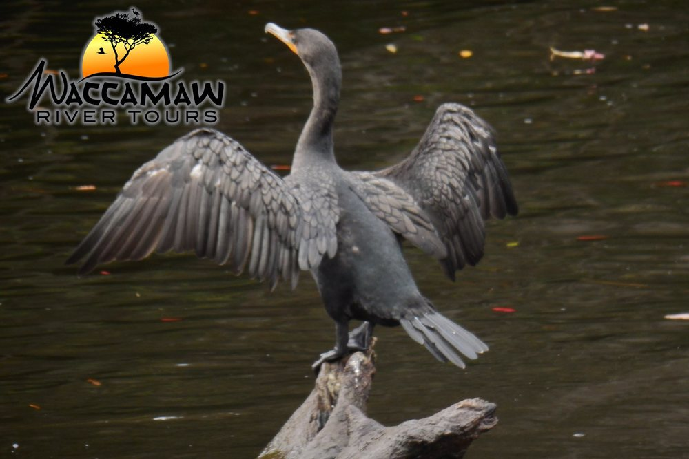 aWaccamaw-River-cormorant.jpg
