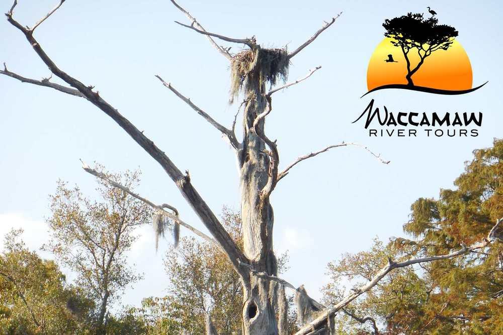 aWaccamaw-river-osprey-nest.jpg