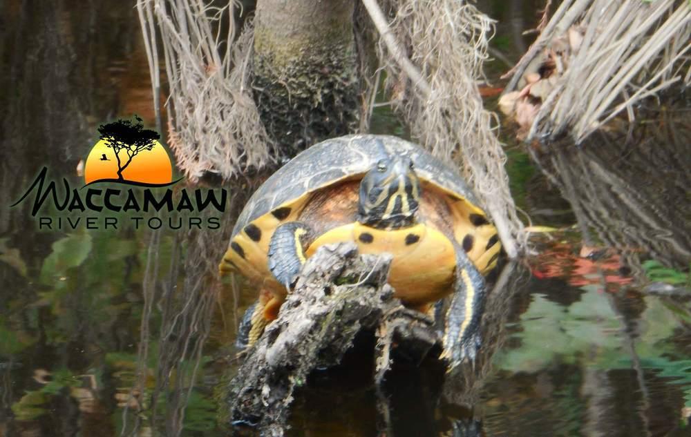 aWaccamaw-River-turtle.jpg