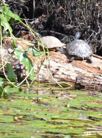 Yellow belly sliders (turtles) sitting on a log!  Some shells shine and others are dull.  What could possibly make this happen?  Capt. Rick has the answer!  Just ask him!