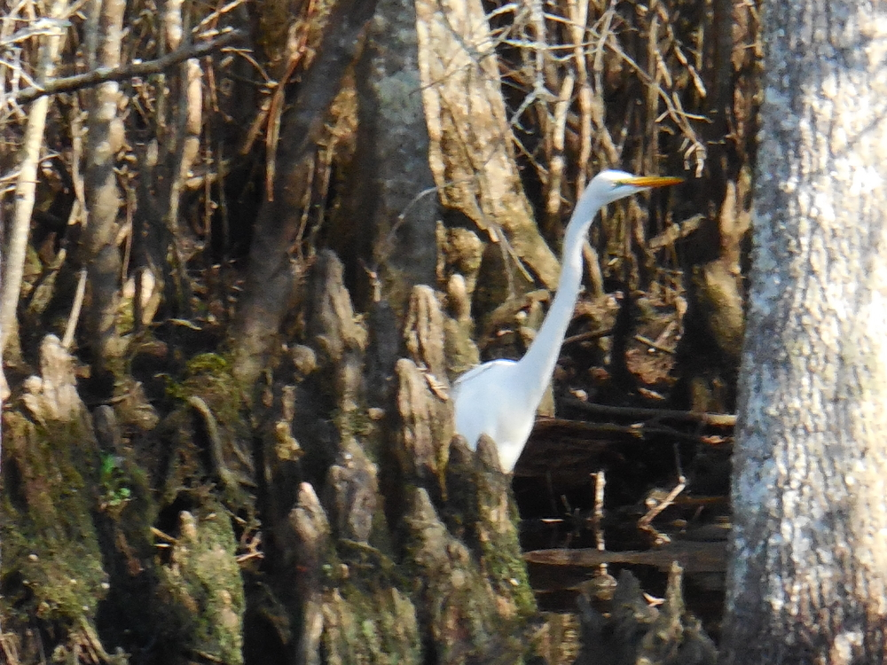 Egret fishing for dinner among the bald cypress knees during a Waccamaw River Tours Nature & Wildlife River Boat Tour. Photo by Kim Carlson