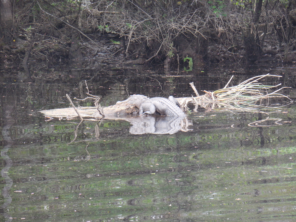 Alligator sunning on a long during a Nature & Wildlife River boat tour at Waccamaw River Tours.  Photo by Kim Carlson
