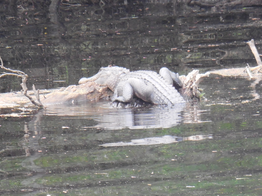 American Alligator sunning itself on a log during a Nature & Wildlife River Boat Tour at Waccamaw River Tours, LLC.  Photo by Kim Carlson
