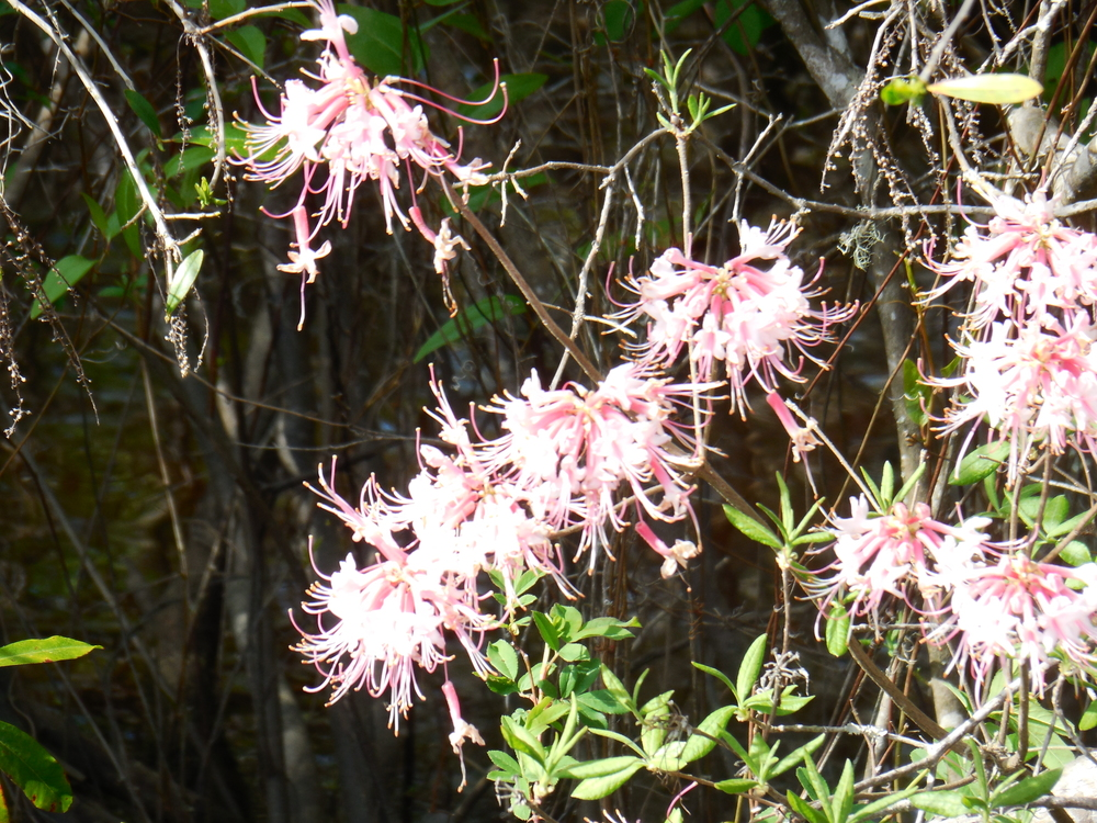 Wild pink honeysuckle is in bloom along the river at Waccamaw River Tours, LLC.  Photo by Kim Carlson