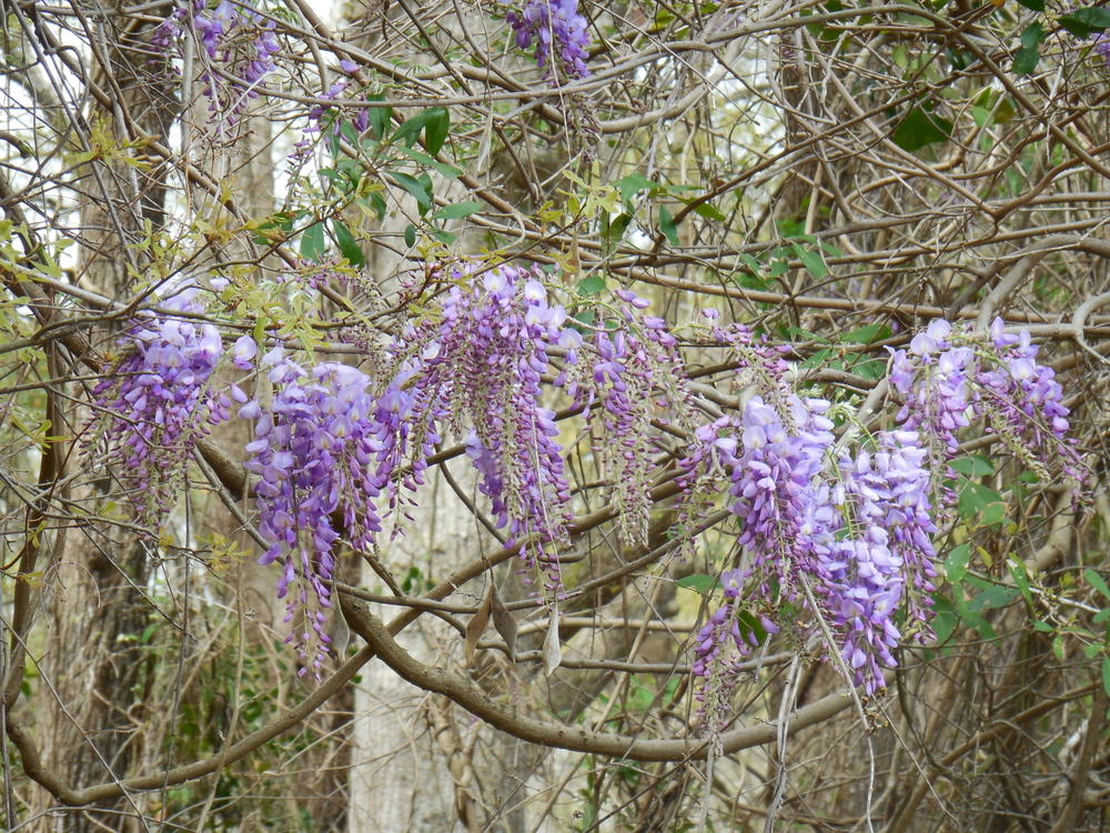Wisteria is in bloom at Waccamaw River Tours.  Photo by Kim Carlson