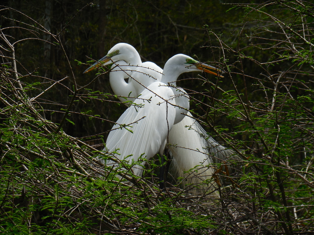 Egrets are nesting. This is an egret pair sitting in their nest amongst the trees at the natural Rookery at Waccatee Zoo. 4/2014  Photo by Kim Carlson