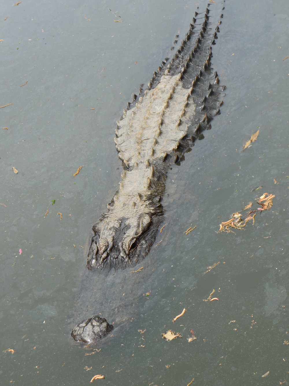 American Alligator during a Nature & Wildlife River boat Tour at Waccamaw River Tours. 4/2014 Photo by Kim Carlson